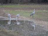Sandhill crane 8