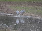Sandhill crane 9