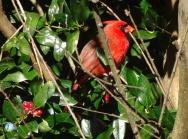 cardinal 13