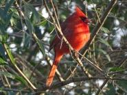 cardinal 15