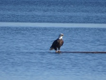 eagle on a log 2