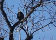 eagle sitting high atop a tree 1