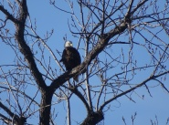 eagle sitting high atop a tree 2