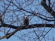 eagle sitting on lower branch