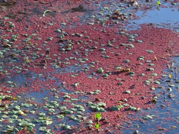 red azolla 5