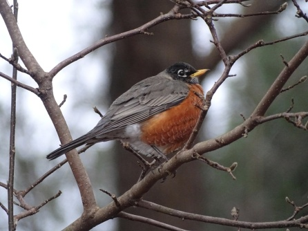 American robin2