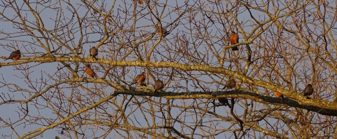 American robins1