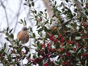 American robins5
