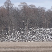 Stirring up the snow geese 1