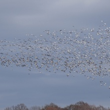 Stirring up the snow geese 11