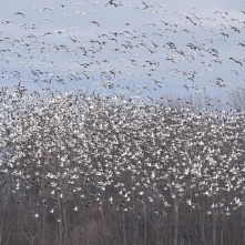 Stirring up the snow geese 4
