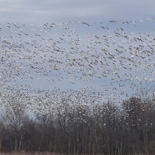 Stirring up the snow geese 5