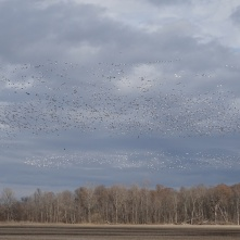 Stirring up the snow geese 9