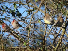 finches and waxwings