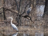 Great Blue Herons 3
