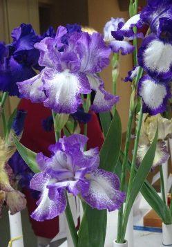 Iris 11