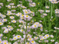 Purple Daisy Fleabane