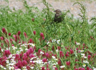 Red-winged blackbird female 2
