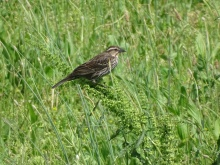 Red-winged blackbird female 5
