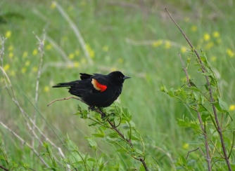 Red-winged blackbird male 1