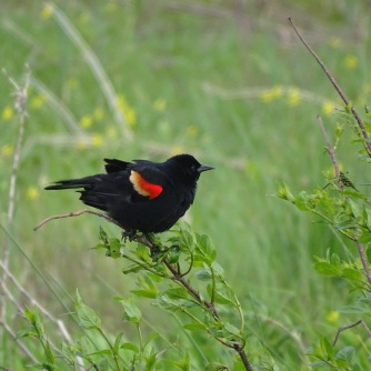 Red-winged blackbird male 1