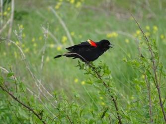 Red-winged blackbird male 2