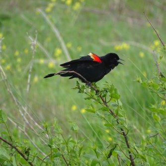 Red-winged blackbird male 2