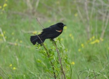 Red-winged blackbird male 3