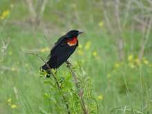 Red-winged blackbird male 4
