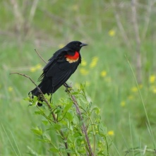 Red-winged blackbird male 4