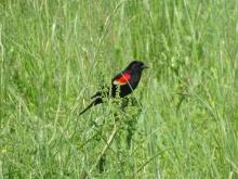 Red-winged blackbird male 5