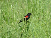 Red-winged blackbird male 5