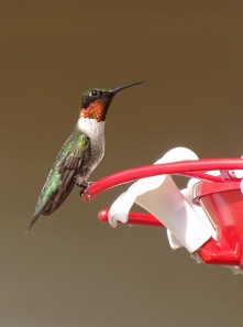 ruby-throated hummingbird 6