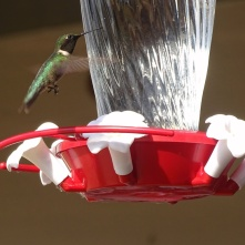 ruby-throated hummingbird 9