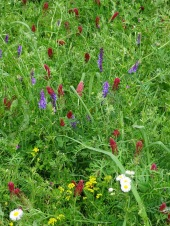 Wildflowers along the levee 2