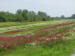 Wildflowers along the levee 4
