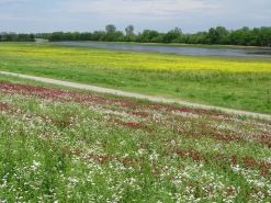 Wildflowers along the levee 5