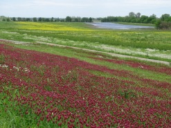 Wildflowers along the levee 6