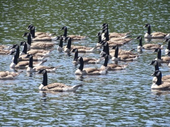 Canadian geese on Lake Placid
