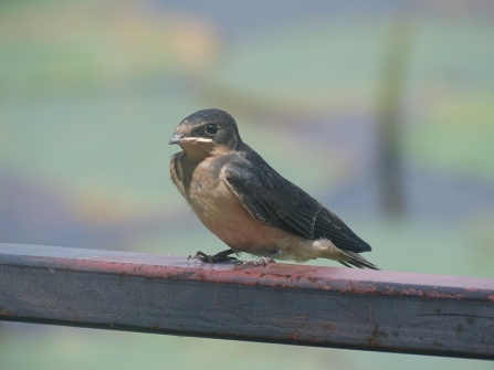 barn swallow juvenile 1