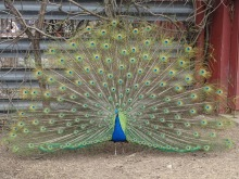 Indian Peacock 1