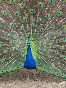 Indian Peacock 2