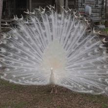 White peacock 1