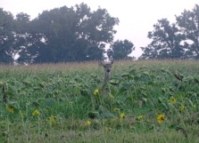 deer in a sunflower field 2