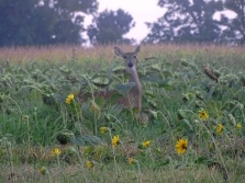 deer in a sunflower field 3