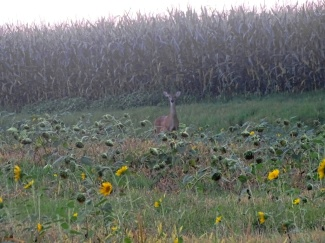 deer in a sunflower field 5