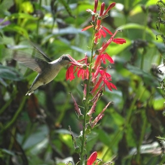 hummingbird and cardinal flower 1