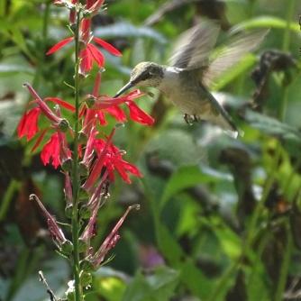 hummingbird and cardinal flower 2
