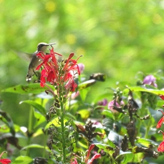 hummingbird and cardinal flower 4
