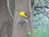 prothonotary warbler 5